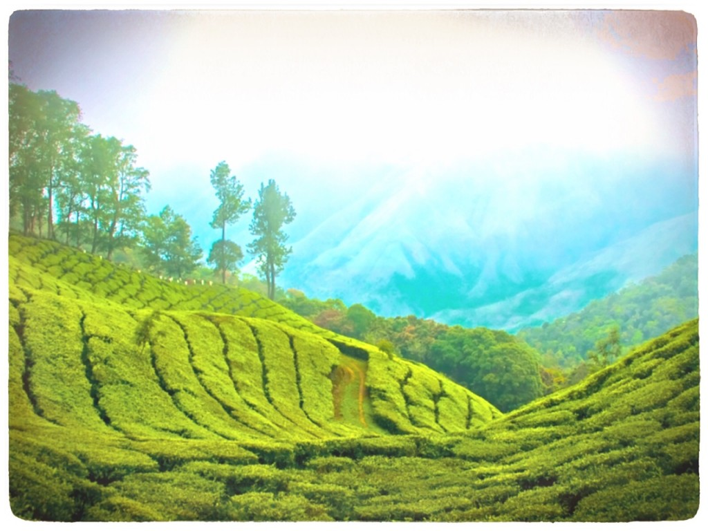 Tea plantation in Assam, India